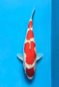 393-Kandel Koiku-Bali-DKK BALI-Bali-kohaku-34cm-F
