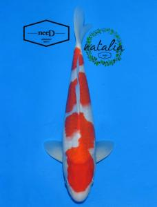 173-Aris Sugiantara - Bali - Malang Koi Club - Malang - Kohaku - 35cm - Female